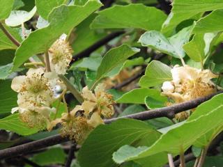 キウイの花1.jpg