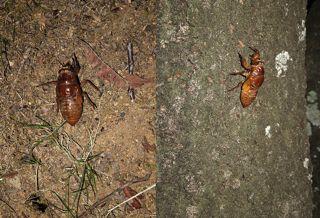 セミの幼虫1.jpg