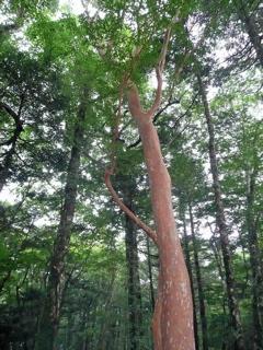 ヒメシャラ巨木1.jpg