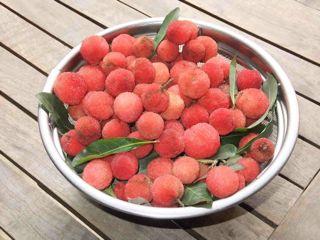 ヤマモモ収穫1.jpg