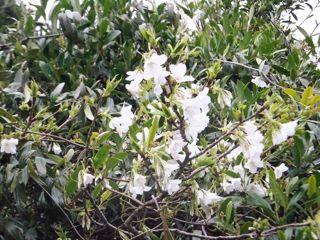 八丈島桜1.jpg