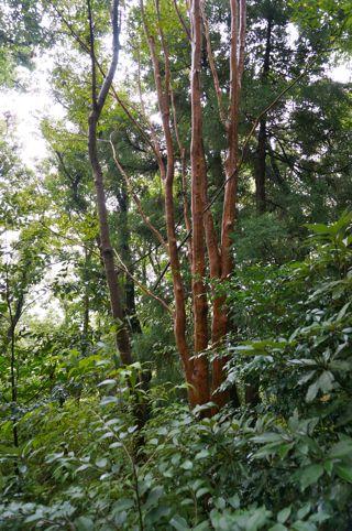 20131008-ヒメシャラ巨木.jpg