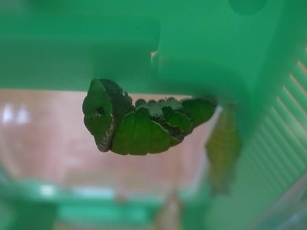20110626幼虫.jpg