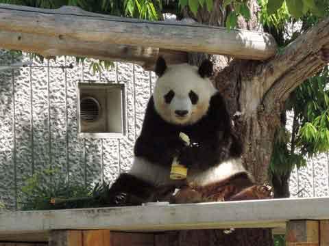 panda523.jpg